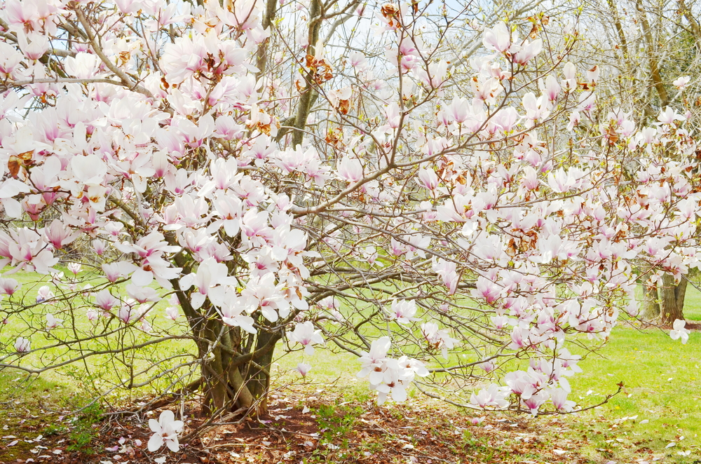 Substance From Magnolia Tree Can Protect From Cardiac Hypertrophy